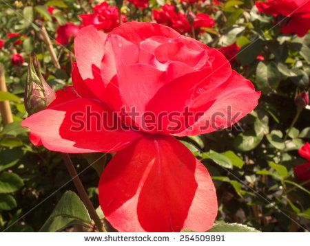 Red roses. - stock photo