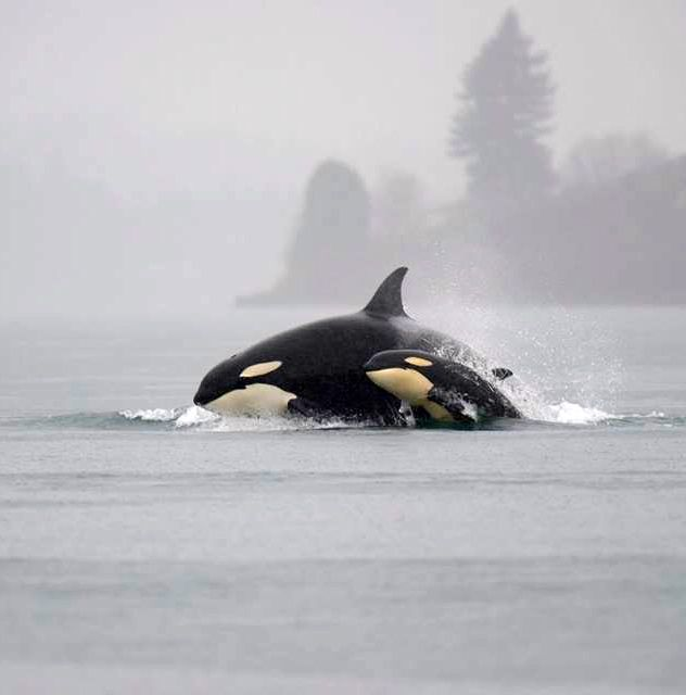 "maudelynn: "" Momma and Baby ~ Puget Sound 12/21/2014 photo by Michael Charest via KIRO 7 Eyewitness News """