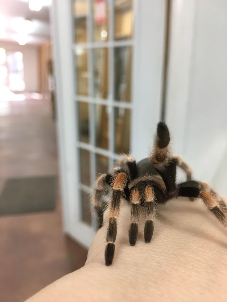 My pet tarantula Nacho waving to the camera