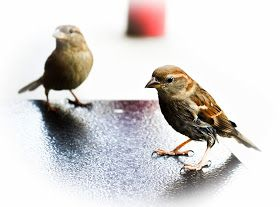 Tiny sparrows - Passerotti