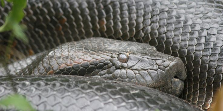 On Filming Eaten Alive : In Search of the World's Largest Snake in the Amazonian Wild West