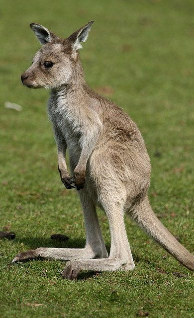 Best Kangaroos Are So Cute Images On Pinterest Kangaroos - 30 cutest pictures ever babies posing animals