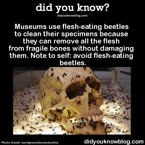 Museums use flesh-eating beetles to clean their specimens because they can remove all the flesh from fragile bones without damaging them. Note to self: avoid flesh-eating beetles