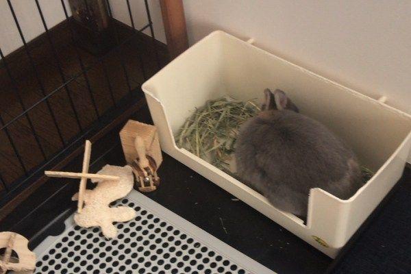 オシッコが飛び散らない チモシーが散らからない うさぎ用大型トイレ ネザーランドドワーフ うさぎのルビー ウサギ小屋 ウサギ用ハウス うさぎ