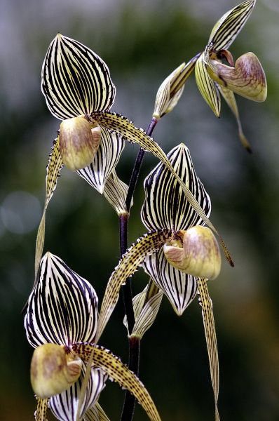 Paphiopedilum orchid; photo by Winston Munnings: Flore, White Orchids, Lady Slippers, Plants, Naples Florida, Beautiful Flowers, Paphiopedilum Orchids, Organizations Gardens Tips, Botanical Gardens