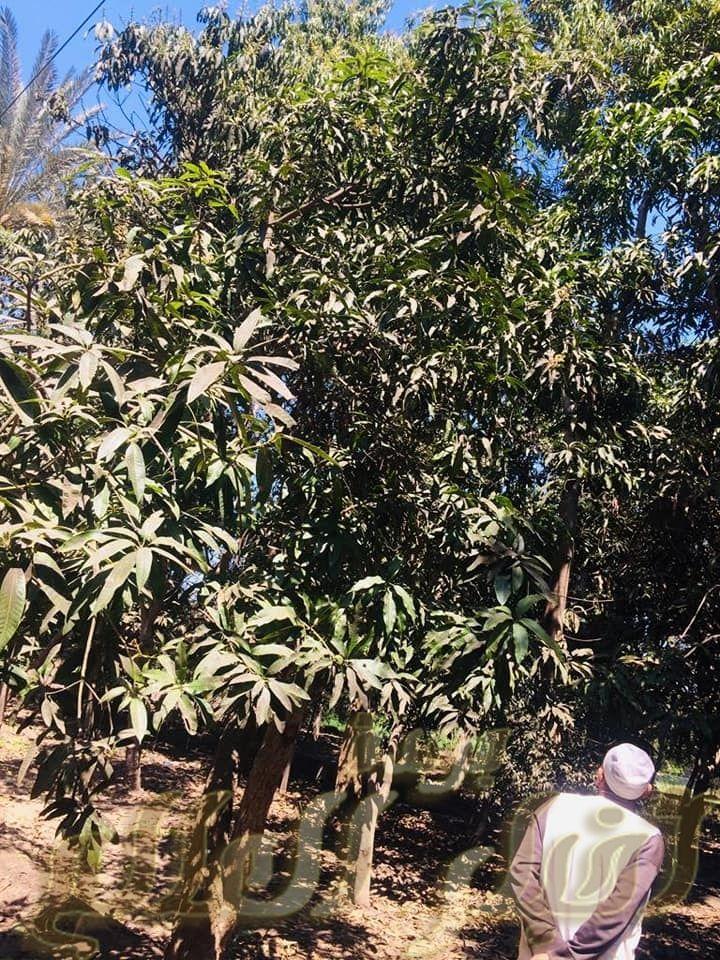 خلطة طبيعية تقضي علي مرض العفن الهبابي الذي يصيب أشجار المانجو Plants