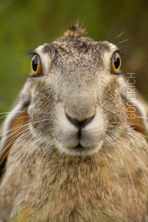 black_tailed_jackrabbit.tif | Adventure Photography Stock Images by Jay Goodrich