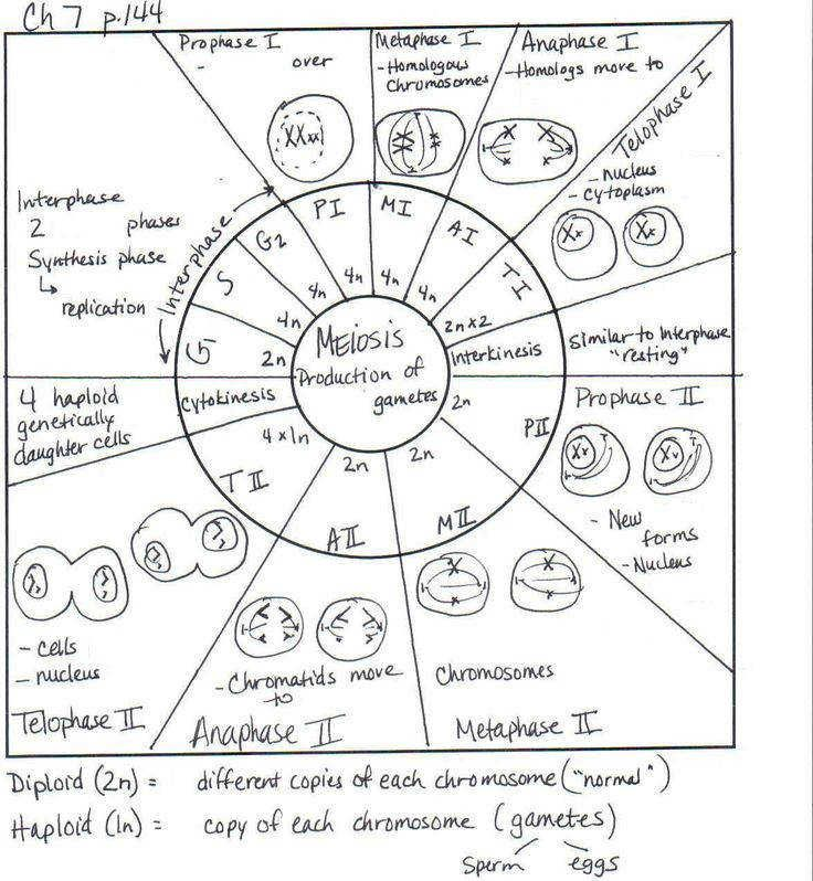 The Cell Cycle Coloring Worksheet Homeschooldressage Com