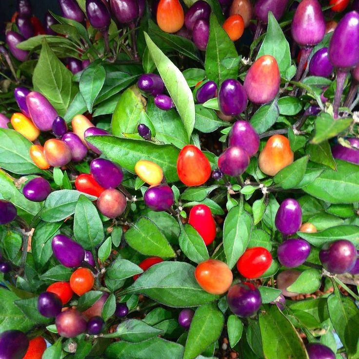 Ser nästan ut som en julgran  många goa färger i samma planta   #Trädgård #Garden #Blommor #Flowers #Frö #Frukt #Odling #Lantliv #Minträdgård #Mygarden #Hemodlat #Wexthuset