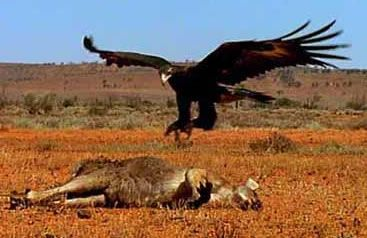 State Faunal (Bird) Emblems: Northern Territory - Wedge Tailed Eagle