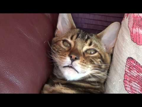 Benji the Bengal Cat: from Kitten to Adulthood - YouTube