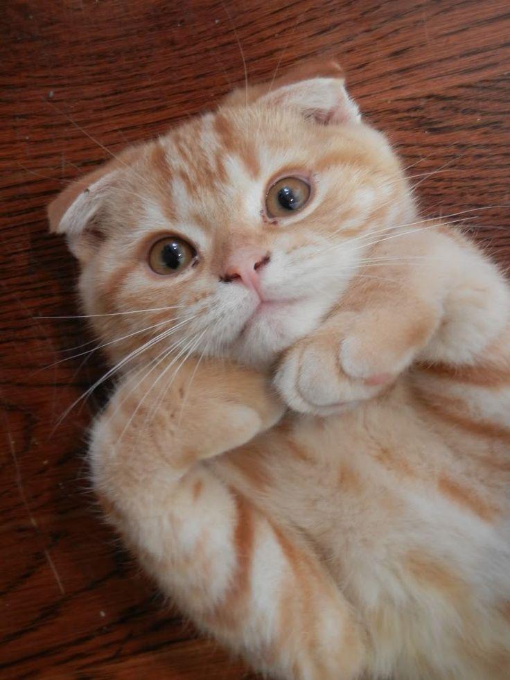 Barnaby the Scottish Fold Kitten
