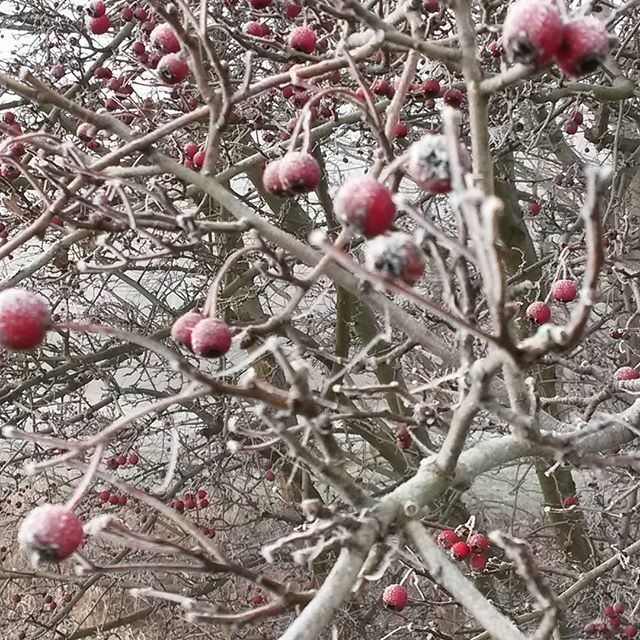 Hawthorn on the winter:) #herbs #herbal #medicineherbs #ziola #remedies