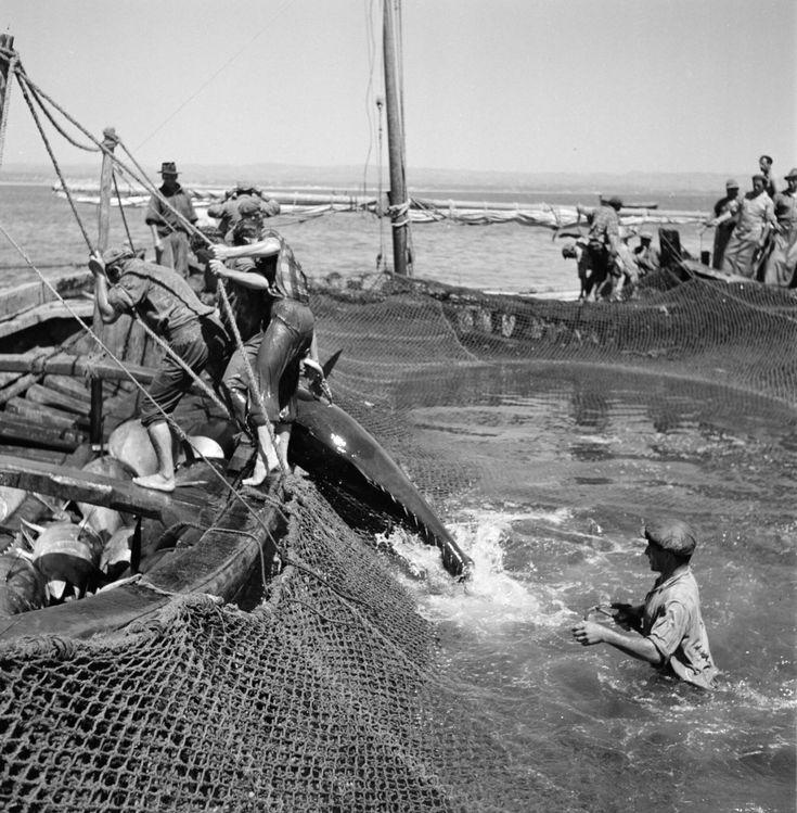 """arturpastor: """" Texto e fotografias de Artur Pastor in """"Algarve"""", edição de 1965. """"…O mar já não é mar, mas apenas alvoroço branco e sanguíneo, em constante agitação. A gritaria aumenta. Chocam-se, confundem-se os brados de vitória. Os peixes..."""