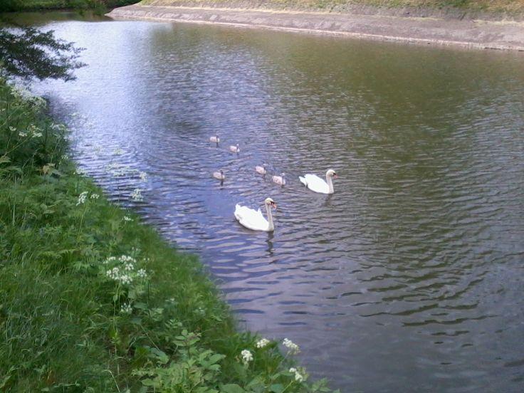 Swanfamily at Kastellet, Cpoenhagen, Denmark