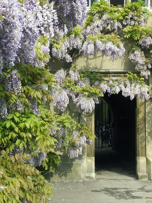 Wisteria at Sidney Sussex College, Cambridge: Hall Court, uncredited.