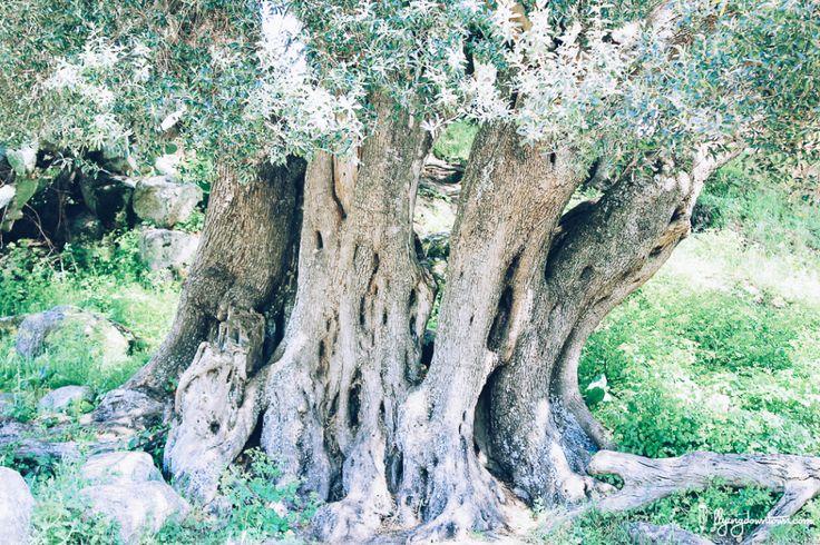 Olivier millénaire sur le site préhistorique de Filitosa en Corse