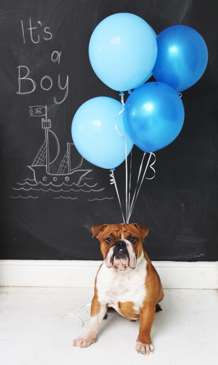 It's a BOY! Our baby gender announcement :) English bulldog and balloons x