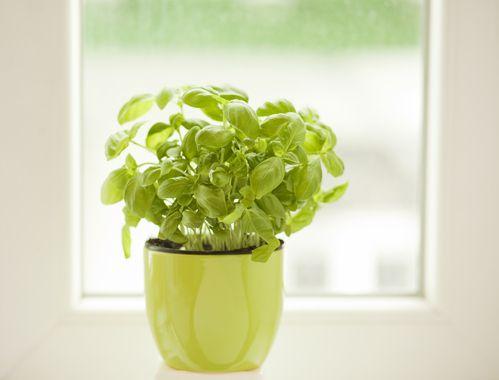 Fiche plante : Basilic