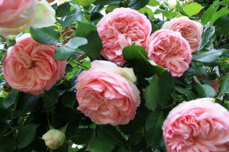 Roi du jardin au pied ingrat, le rosier aime qu'on habille sa base! Quelles sont les meilleures associations de plantes avec les rosiers?