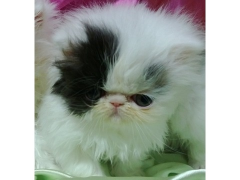 Persian cats for sale in upstate new york
