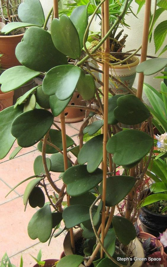 "Hoya ""Keri"" how to grow Hoya Plants https://www.houseplant411.com/houseplant/hoya-plant-how-to-grow-care-tips"