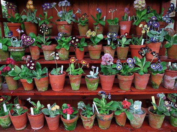 http://spitalfieldslife.com/2012/05/13/the-auriculas-of-spitalfields/  A thorough article on the subject.