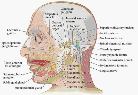 Physiology of Oculomotor Nerve, Trochlear Nerve and Abducens Nerve