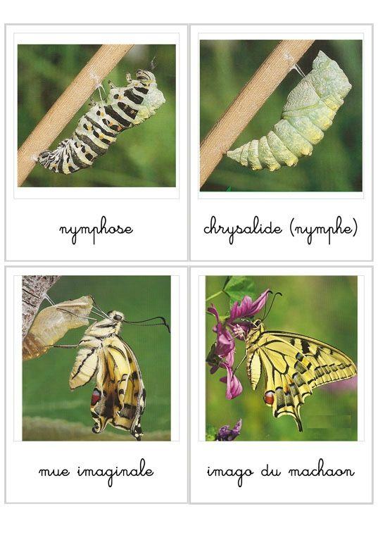 Cycle de vie du papillon http://lheuremontessori.canalblog.com