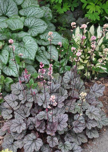 Brunnera Jack Frost left with Heuchera Silver Scroll in the foreground and Hosta Fire and Ice in the upper right. Shade garden