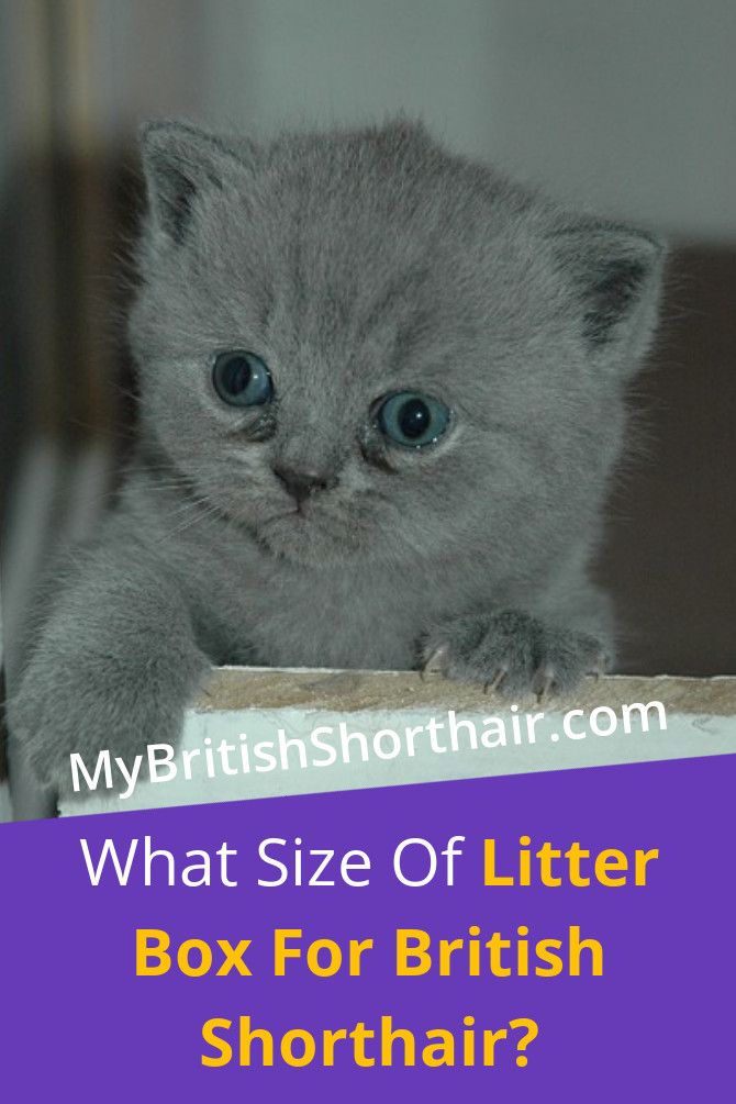 What Size Of Litter Box For British Shorthair With Images British Shorthair British Shorthair Kittens