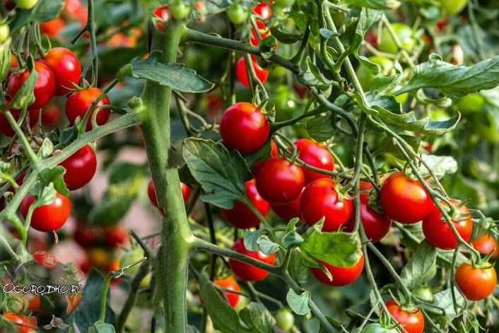Photo of HOW TO FEED TOMATOES AND DO NOT OVERFAT! …