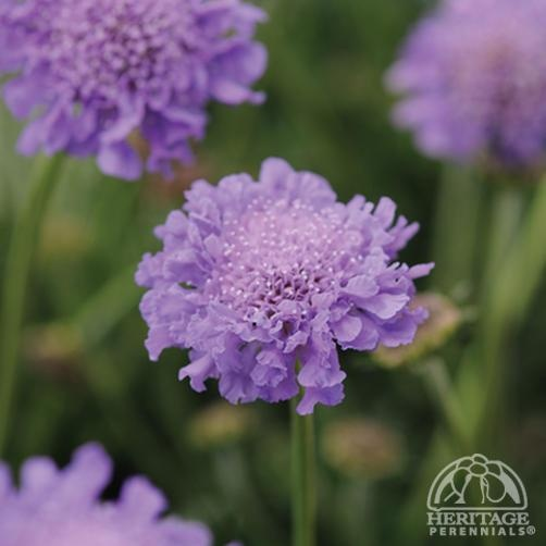 """Scabiosa columbaria Harlequin Blue™ - compact 12-18"""" tall, repeat bloomer"""