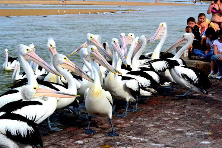 Pelican Feeding Time at the The Entrance, on the Central Coast on NSW. By Alicia Lewis. v@e.