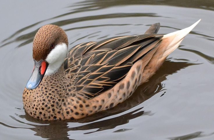White-cheeked Pintail (Anas bahamensis) Southern ducks tend to lack sexual dimorphism. It lives in South America, the Caribbean, and the Galapagos Islands. (Wikipedia)