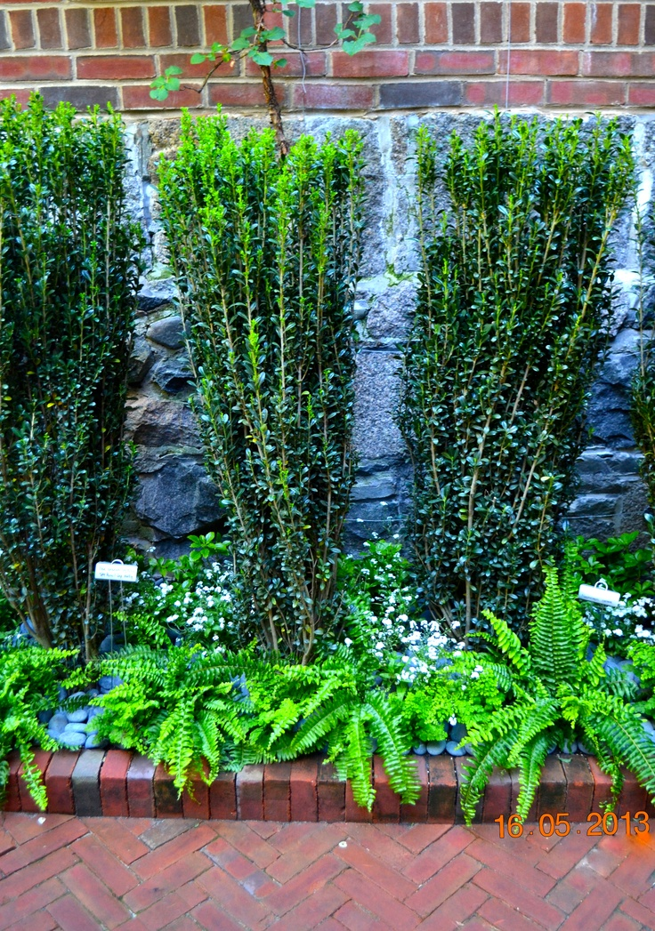 29 Best Sky Pencil Holly Images On Pinterest Landscaping