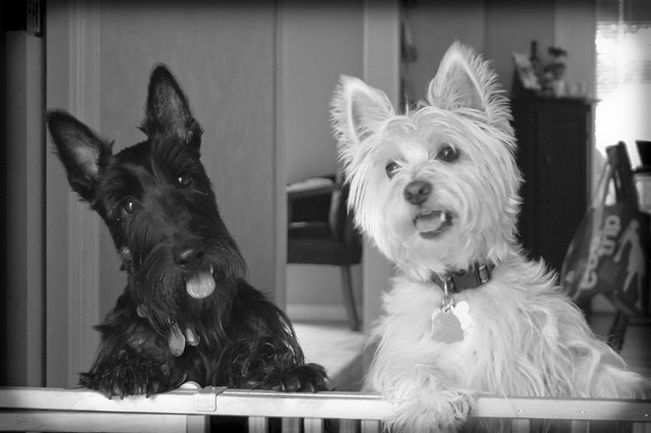 Scottish Terrier Malcolm with West HIghland Terrier Gracie