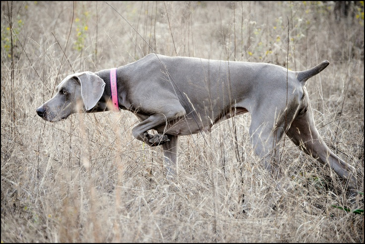 weimaraners - Google Search