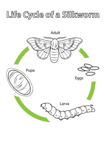Life Cycle of a Silkworm coloring page from Moth category. Select from 24848 printable crafts of cartoons, nature, animals, Bible and many more.