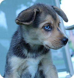 Beagle ,husky mix #5