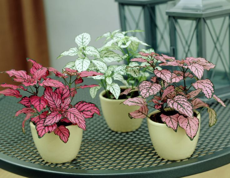 Polka dot plant • Hypoestes phyllostachya • Freckle face
