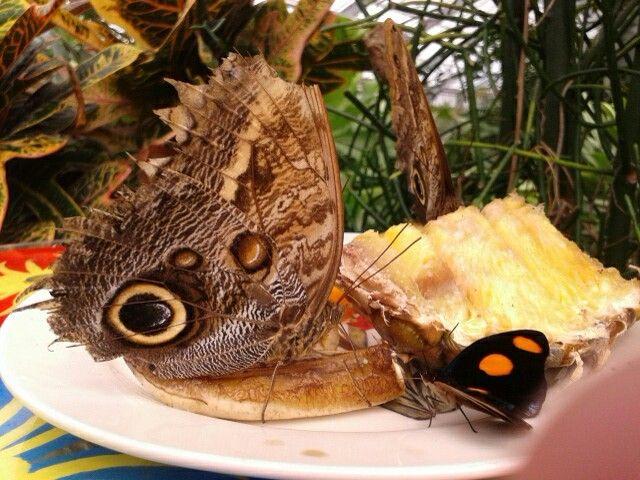 Underside of the wings of a Blue Morpho butterfly in the butterflygarden from De Orchideeënhoeve,Luttelgeest,The Netherlands. De onderkant van de vleugel van de Blauwe Morpho. De vlindertuin in De Orchideeënhoeve, Luttelgeest, Nederland.