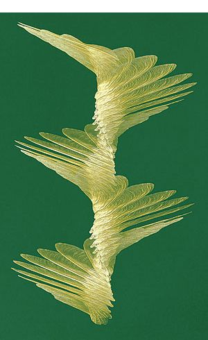 "In late April, the ground becomes littered with samaras, the winged seeds of maple trees. With the right wind, the single-winged ""whirlybirds"" can carry the tree's embryos more than a mile."