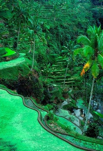 The Ubud area in Indonesia (Bali) has the most fabulous rice terraces. #Ubud #Bali #Indonesia.