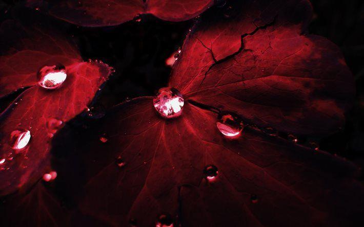 red leaf, drop, autumn, close-up, dew