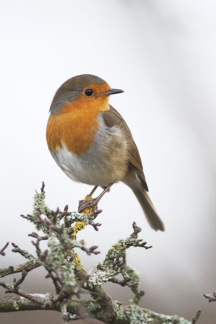 European robin by John Malloy, Rødkælk, Rødhals, bird, cute, nuttet, adorable, precious, photo