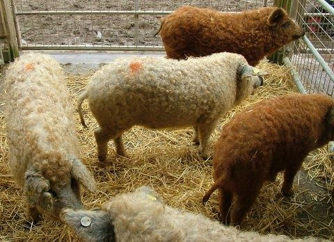 Animals That Are Almost Extinct   the mangalitsa, a wooly pig, almost extinct. who knew?   Animals