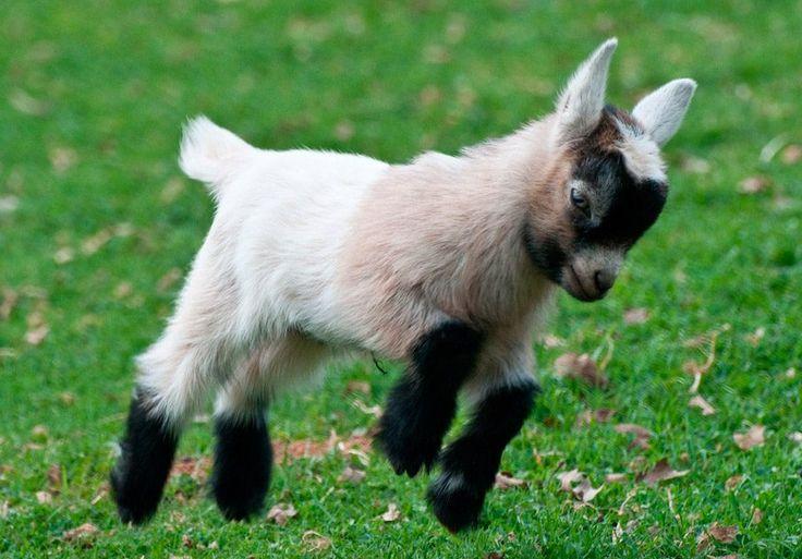 Cabras enanas, mascotas más raras