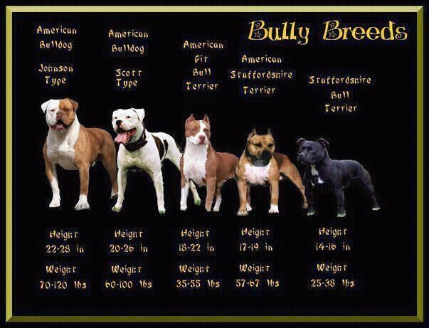 Great picture that shows the bully breeds.: American Bulldogs, Animals ...