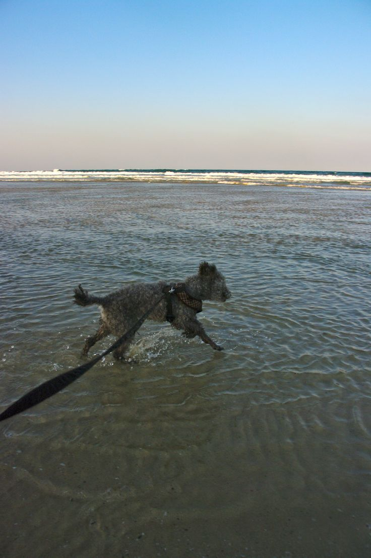 My little boy... at Grassy Heads Beach just two weeks before he passed away. He was blind but he had the wind in his fur, the salt air in his nose and he knew he was safe. Run like the wind my little angel. xxxx